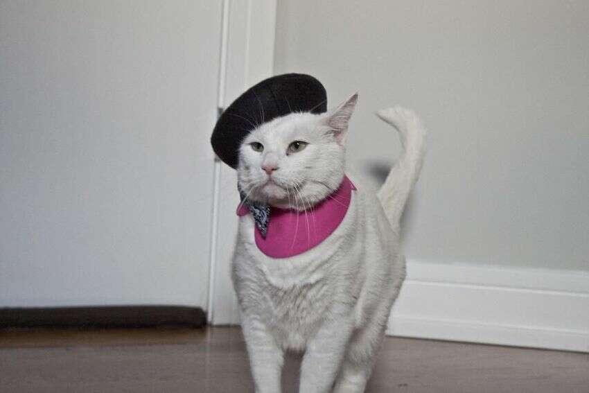 Macskaarisztokrata