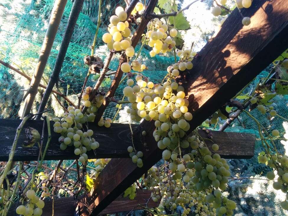 szőlő szüret előtt